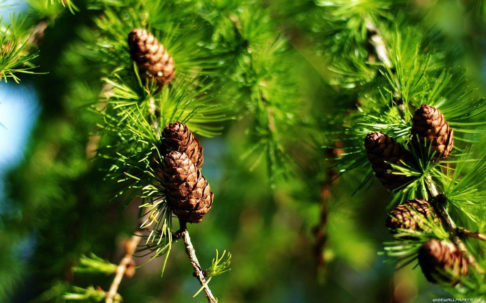 Pine tree wallpapers wallpaper cave for Pinecone wallpaper