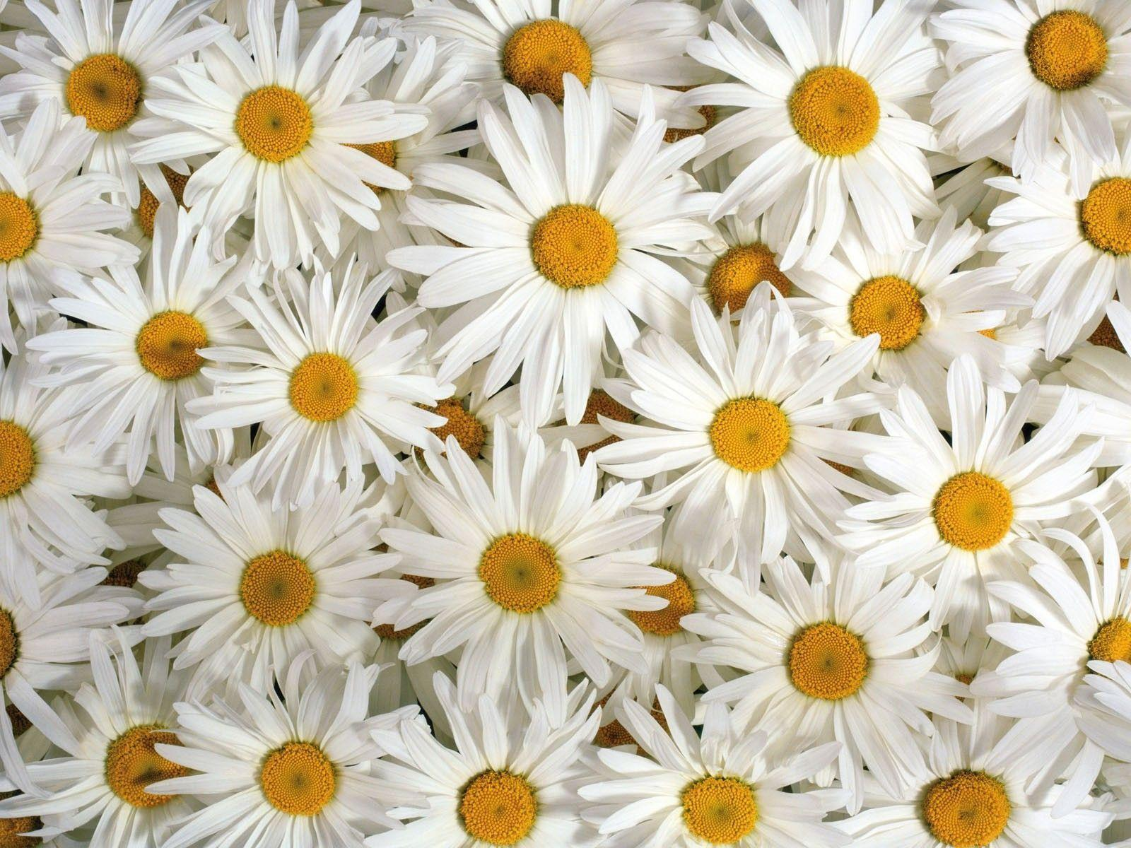 Daisy Flower Wallpapers - Wallpaper Cave