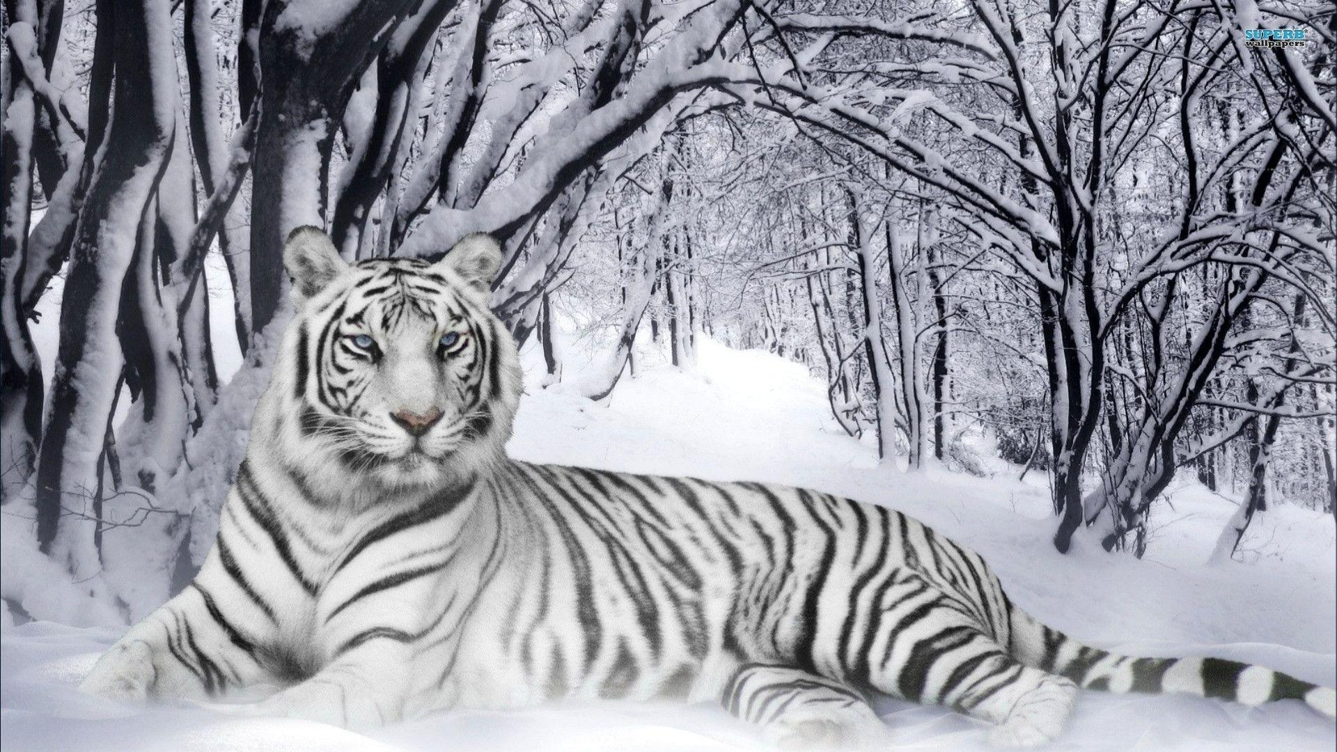 White Siberian Tiger Pictures Hd Image 3 HD Wallpapers