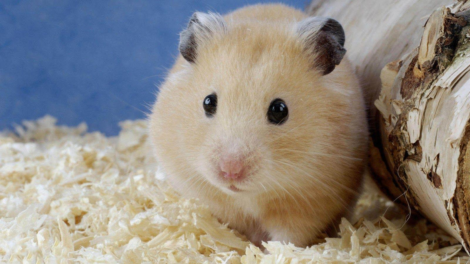 hamster wallpapers wallpaper cave
