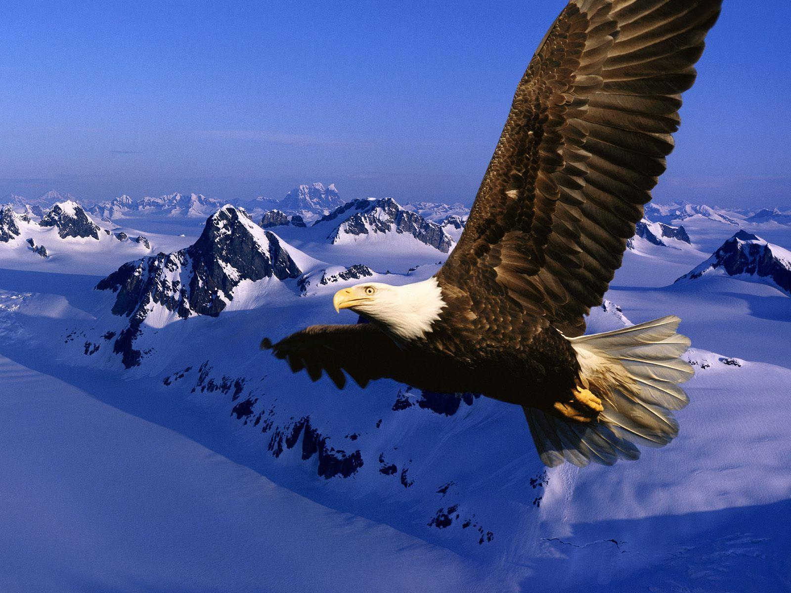 Bird backgrounds with eagles - Barbaras HD Wallpapers