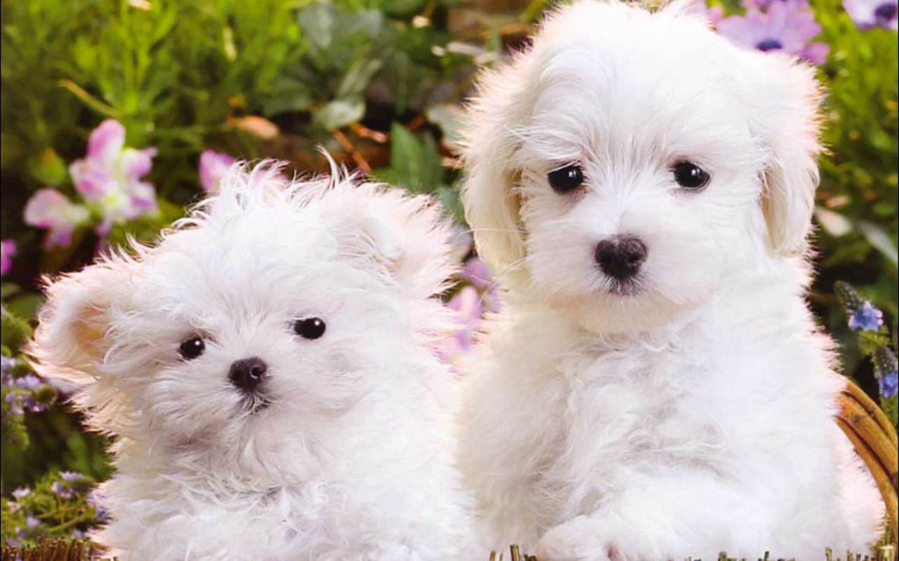 Fluffy Puppy Wallpapers Wallpaper Cave