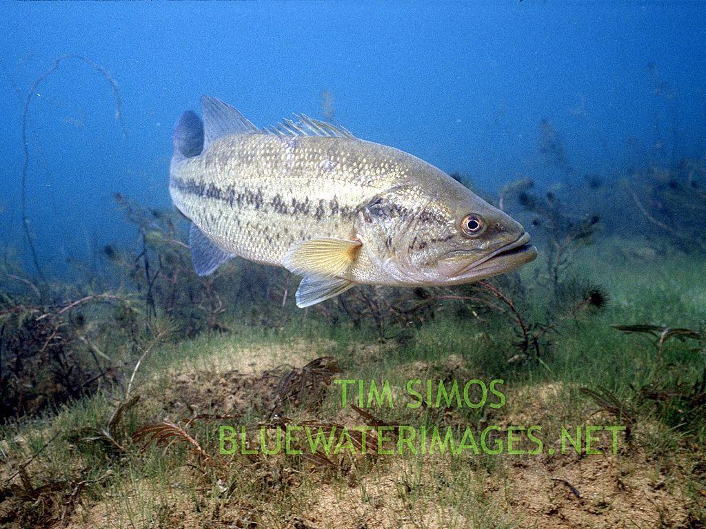 Largemouth Bass Wallpaper For Desktop Download