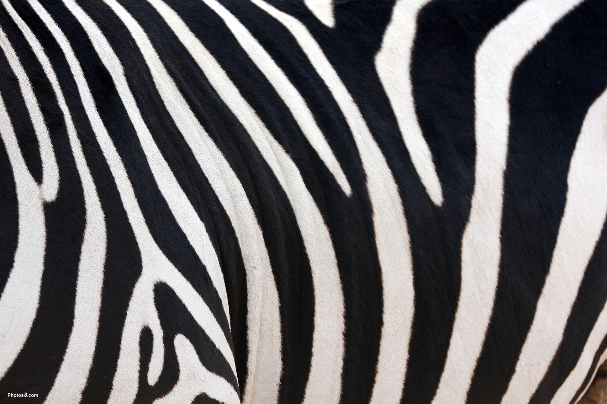 zebra stripe wallpaper stuff - photo #11