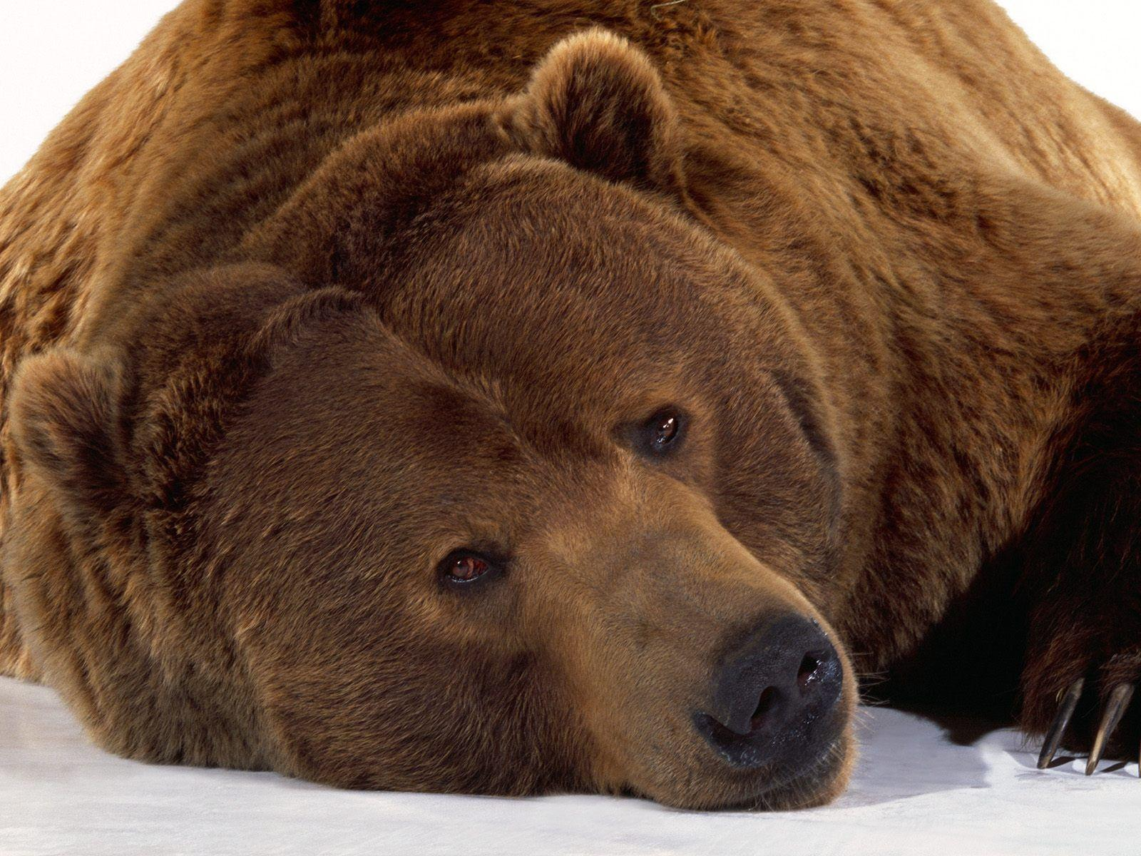 Wallpapers with grizzly bears - Barbaras HD Wallpapers