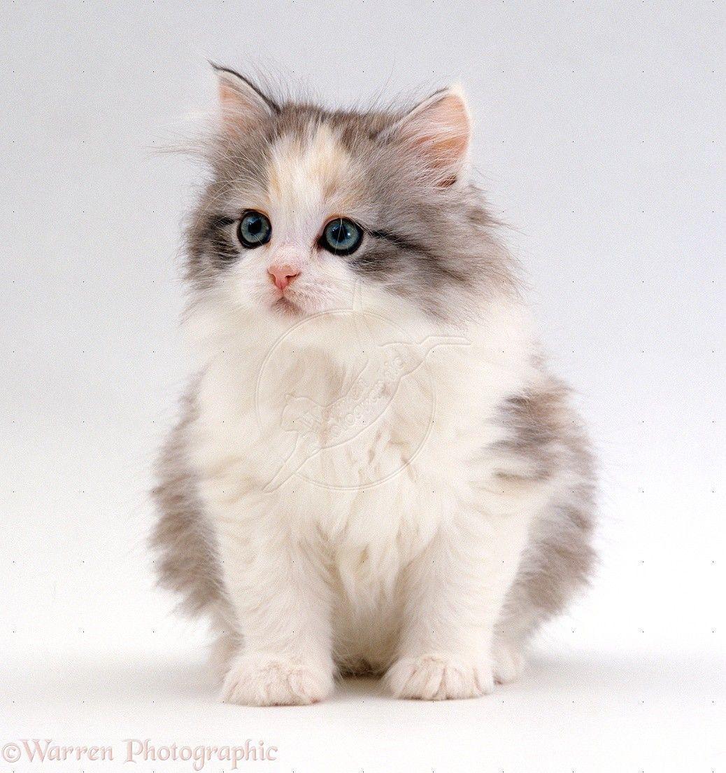 cute fluffy siamese kittens - photo #7