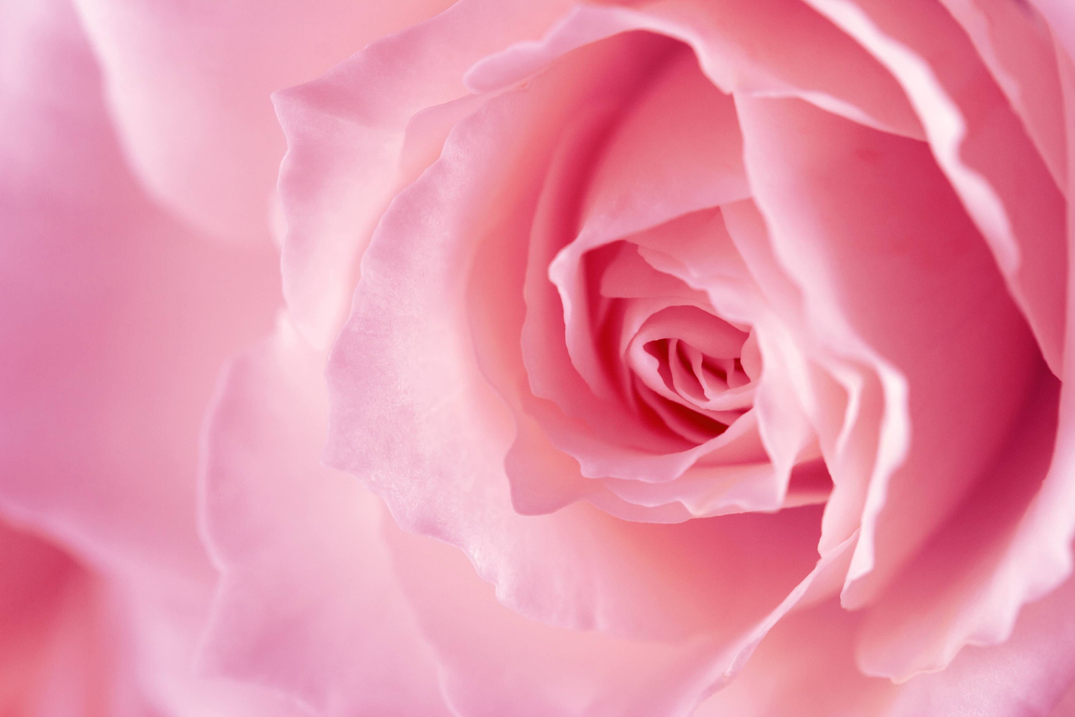 Pink rose backgrounds wallpaper cave - Pink rose black background wallpaper ...