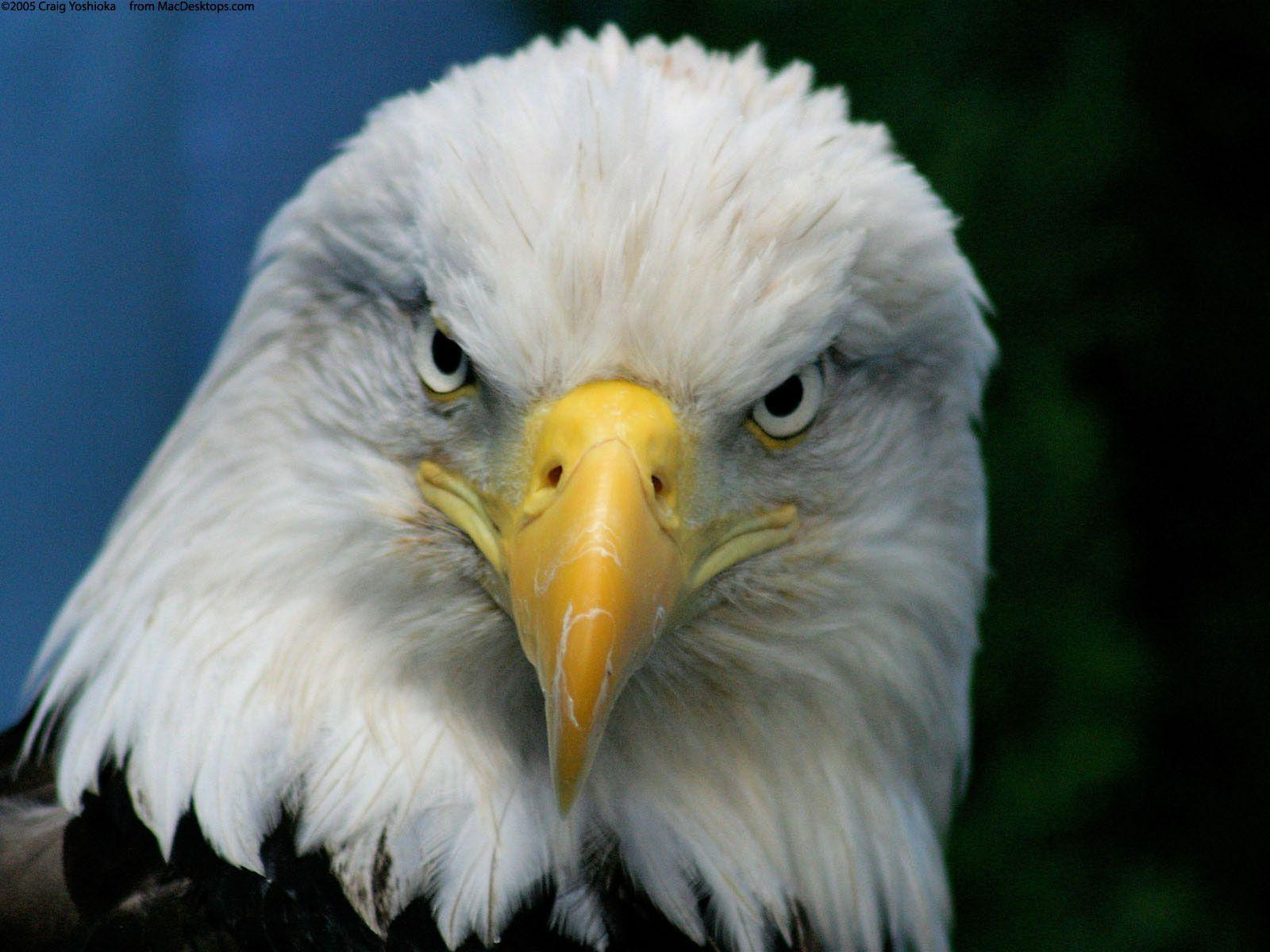 The Face Of Bald Eagle Wallpapers 2724 High Resolution