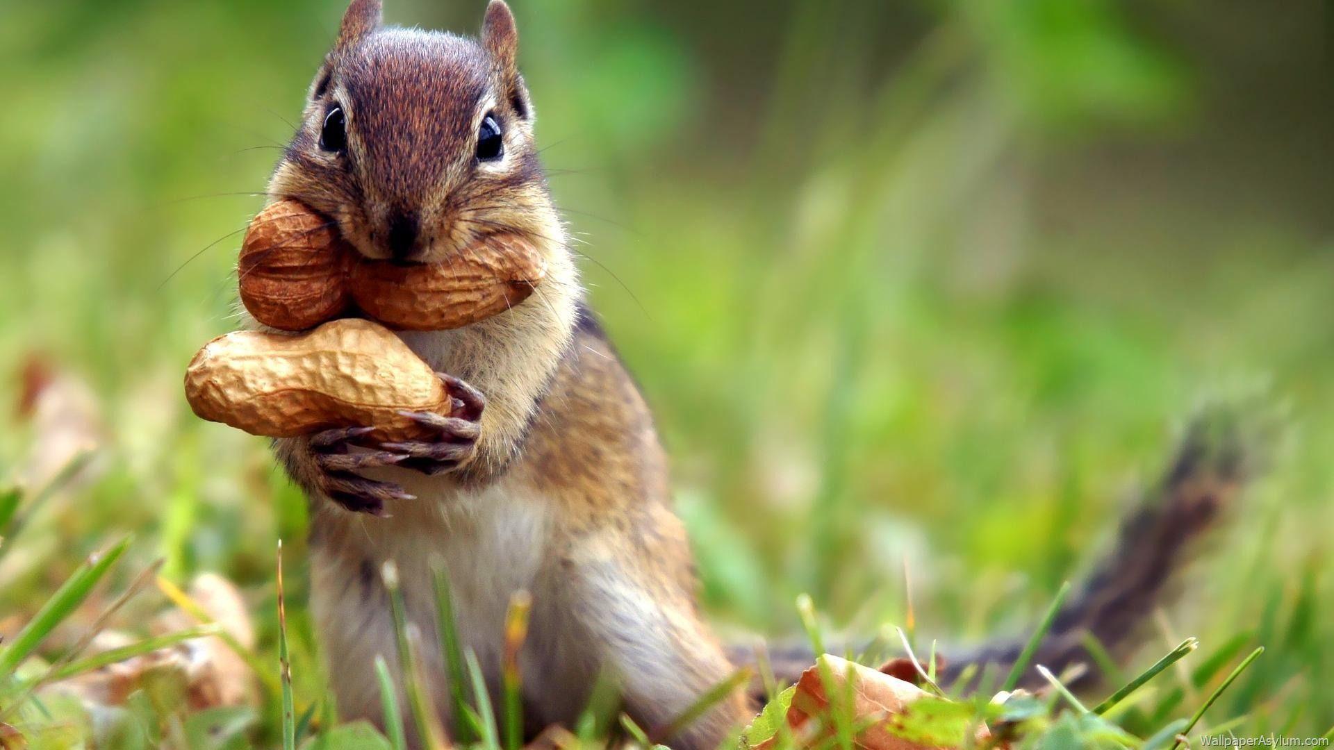 Squirrel Wallpapers Wallpaper
