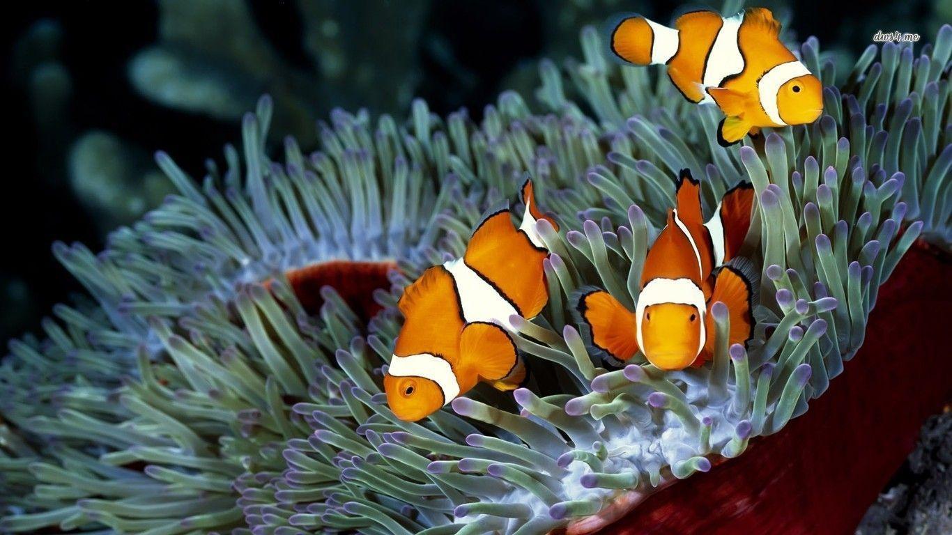 wallpaper clarkii clownfish - photo #15