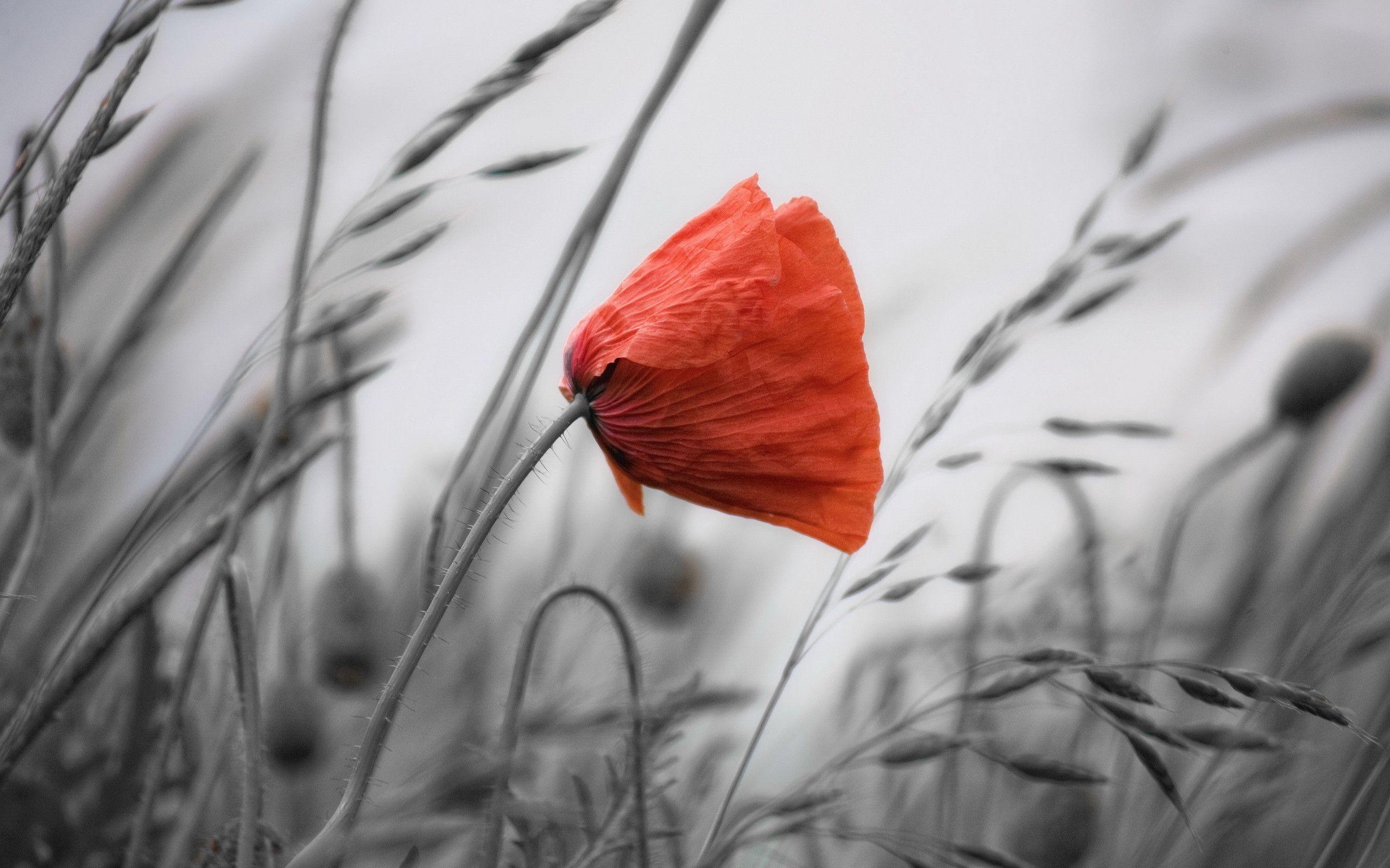 Red Poppy Wallpapers Wallpaper
