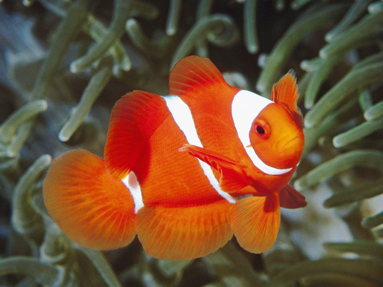 Adult Clown Fish Close Up Wallpapers 1600×1200