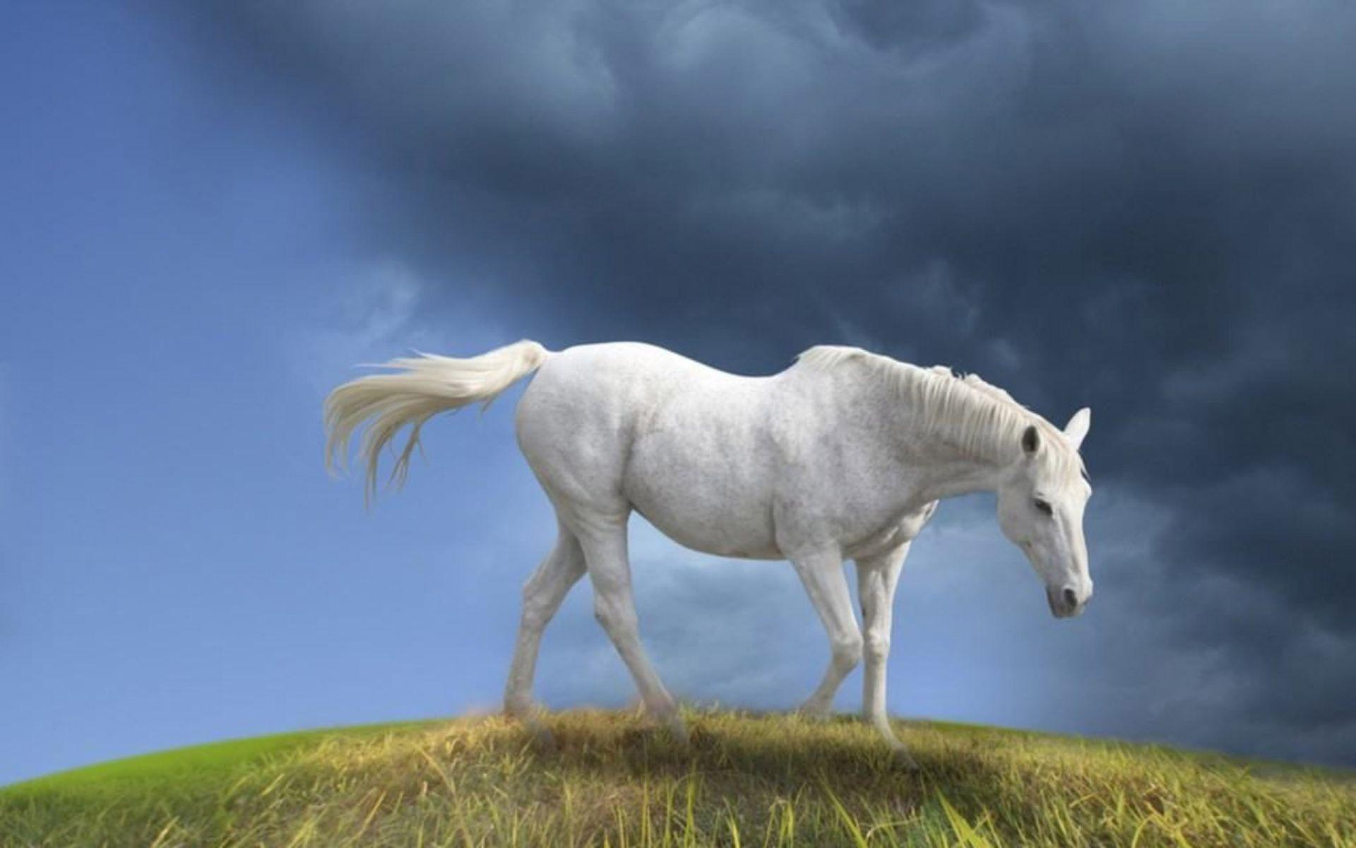 Animals For > White Horse Wallpapers Desktop