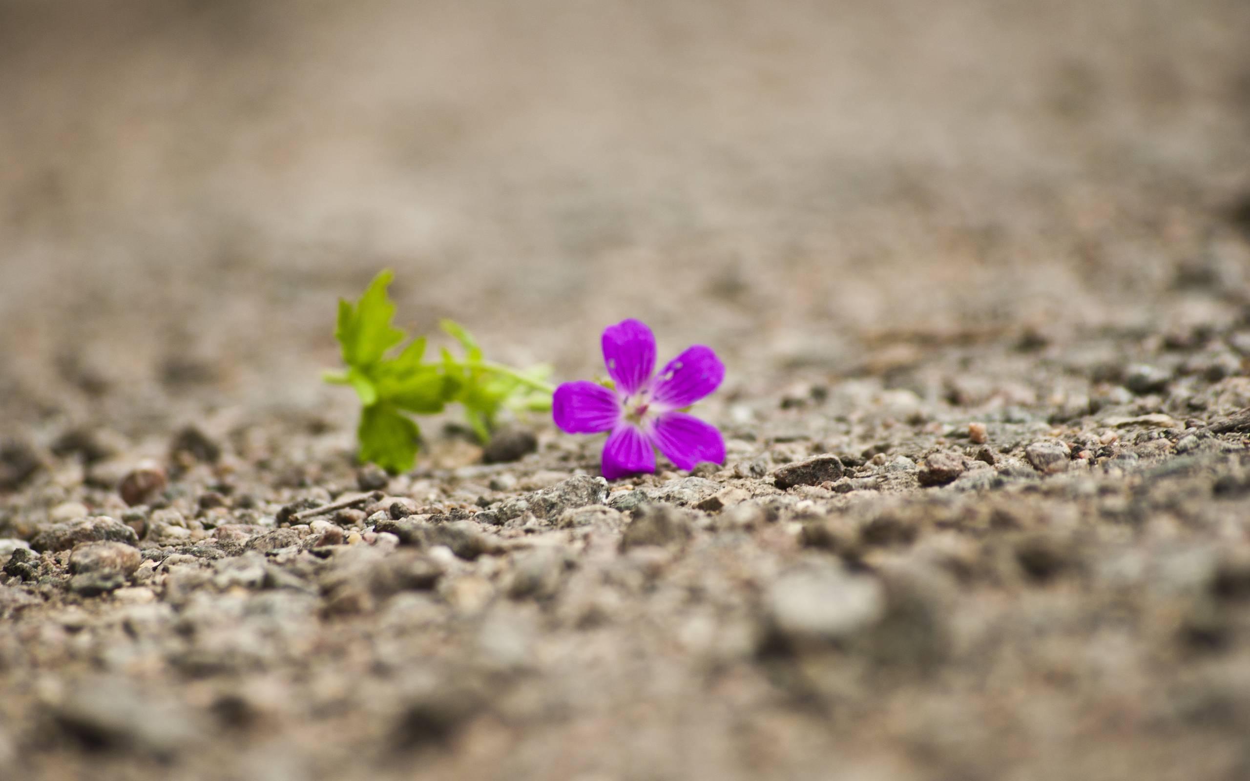 single flower hd wallpaper wwwimgkidcom the image