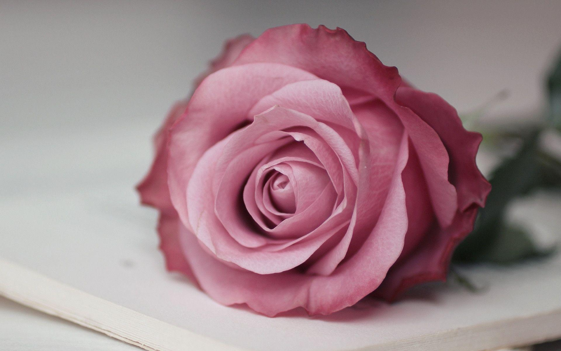 Pink Rose Wallpapers - Wallpaper Cave