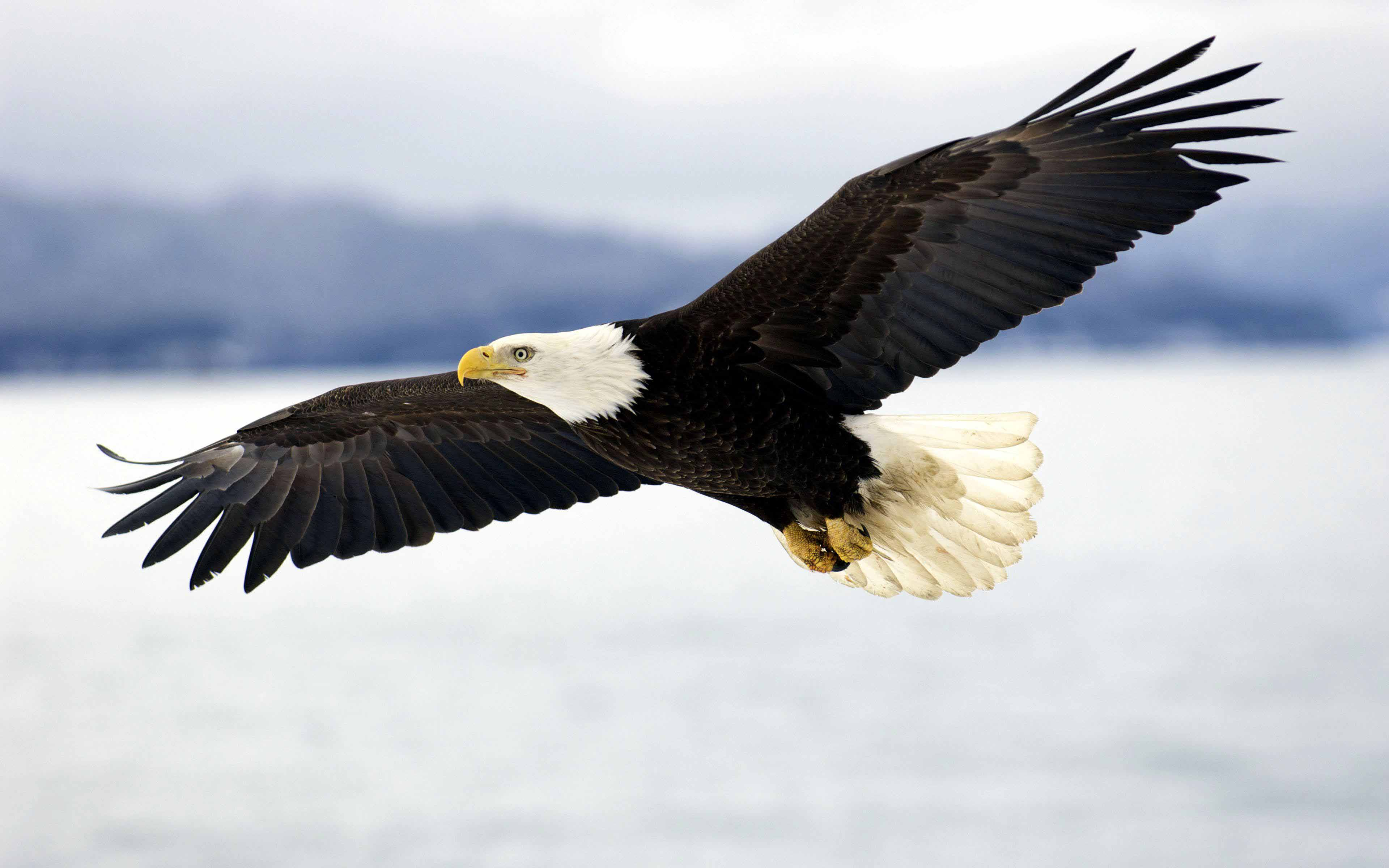 Latest Bald Eagle In Flight HD Wallpapers Free Download