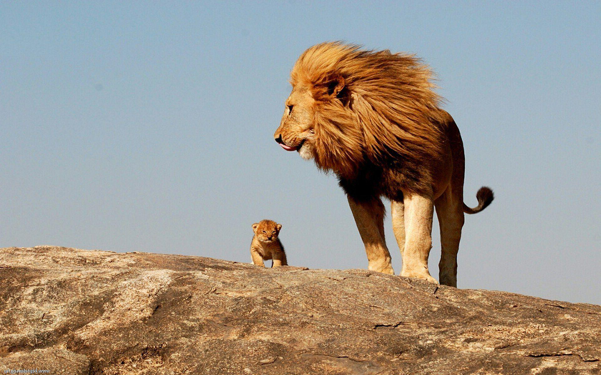 Lion Cub Wallpapers Wallpaper Cave