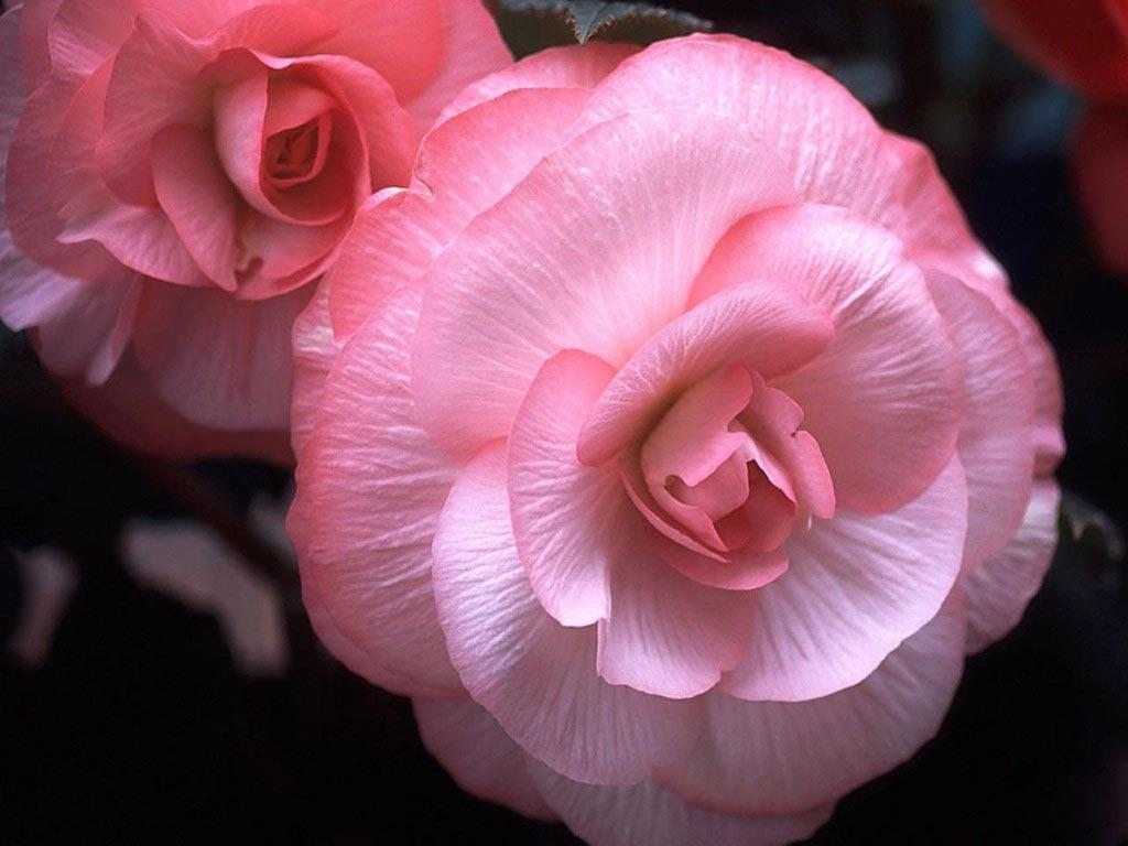 roses wallpaper free download - AHD Images