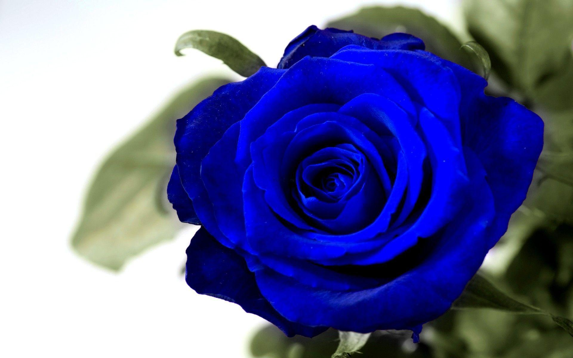 blue rose wallpapers - wallpaper cave