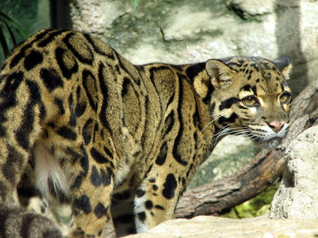 clouded leopard wallpaper - photo #14