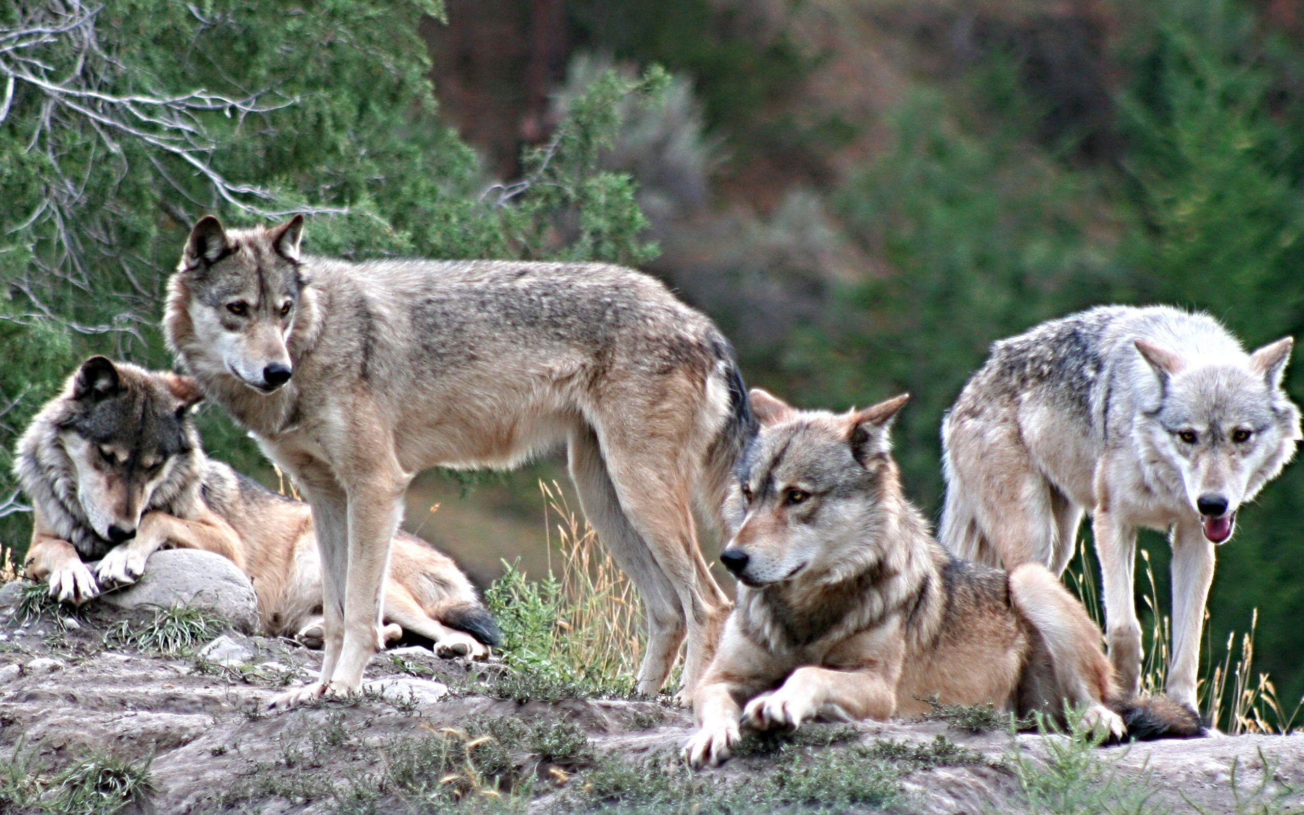 Wolf Pack Wallpapers - Wallpaper Cave - photo#3