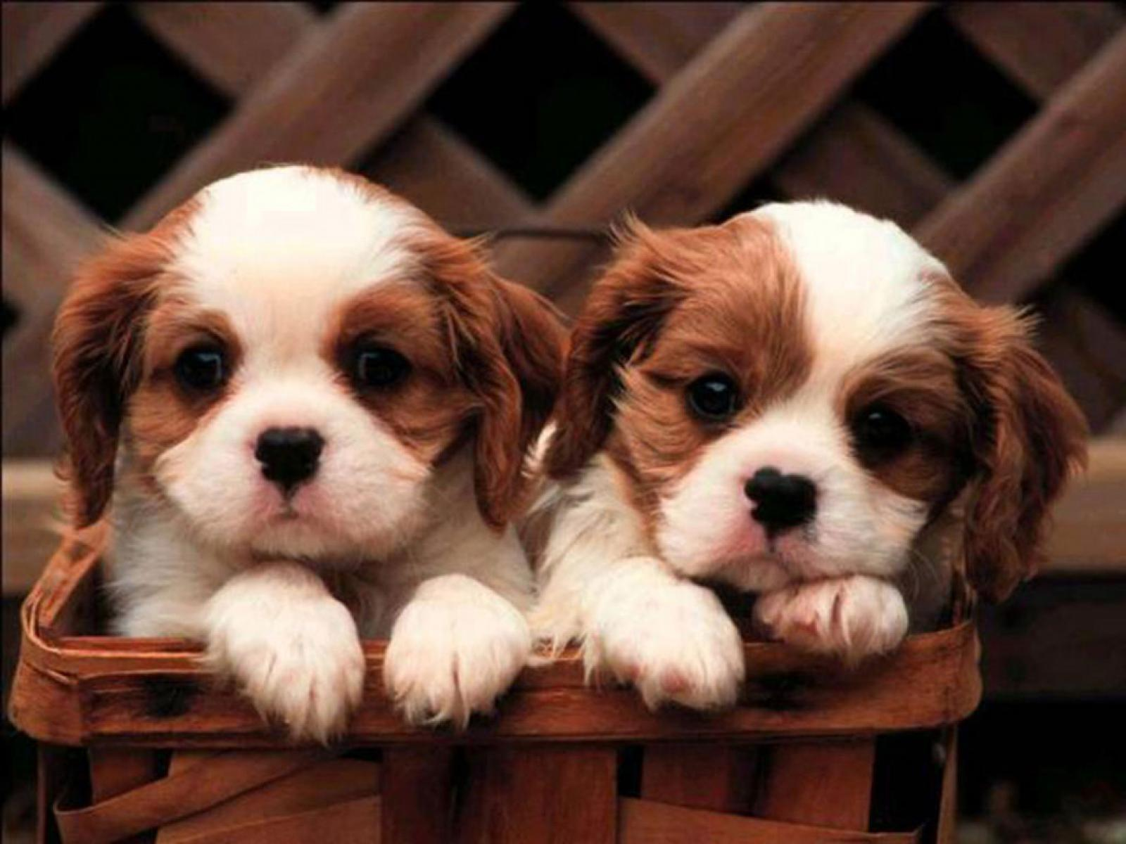 Cute Puppy Desktop Wallpapers Wallpaper Cave