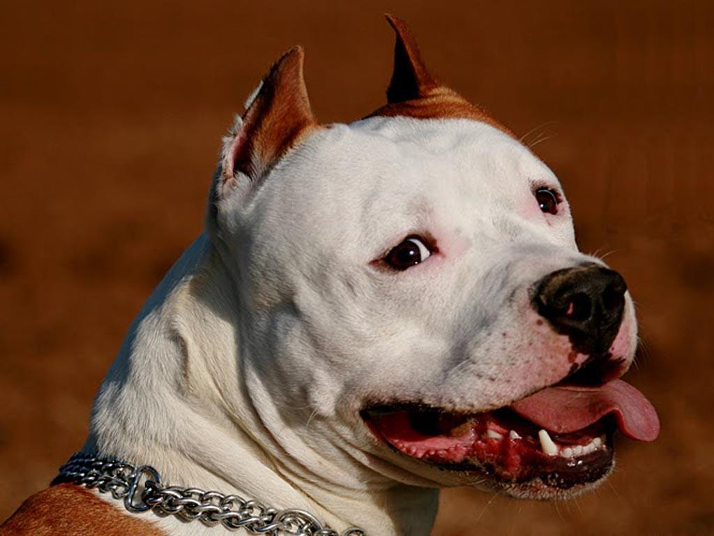 American Pitbull Dogs Wallpapers
