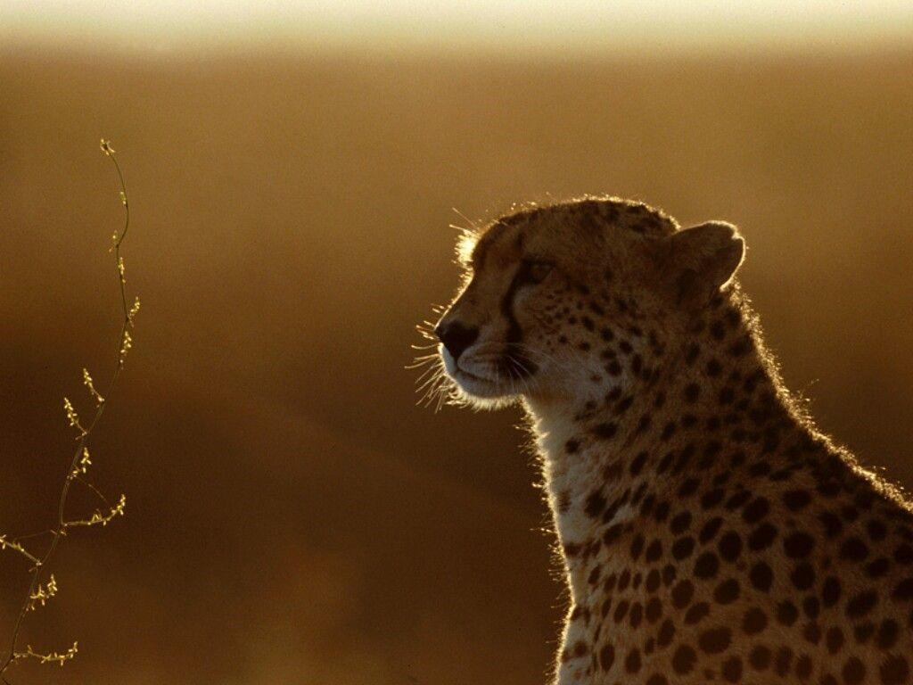 Cheetah HD wallpapers - HD Wallpapers Inn