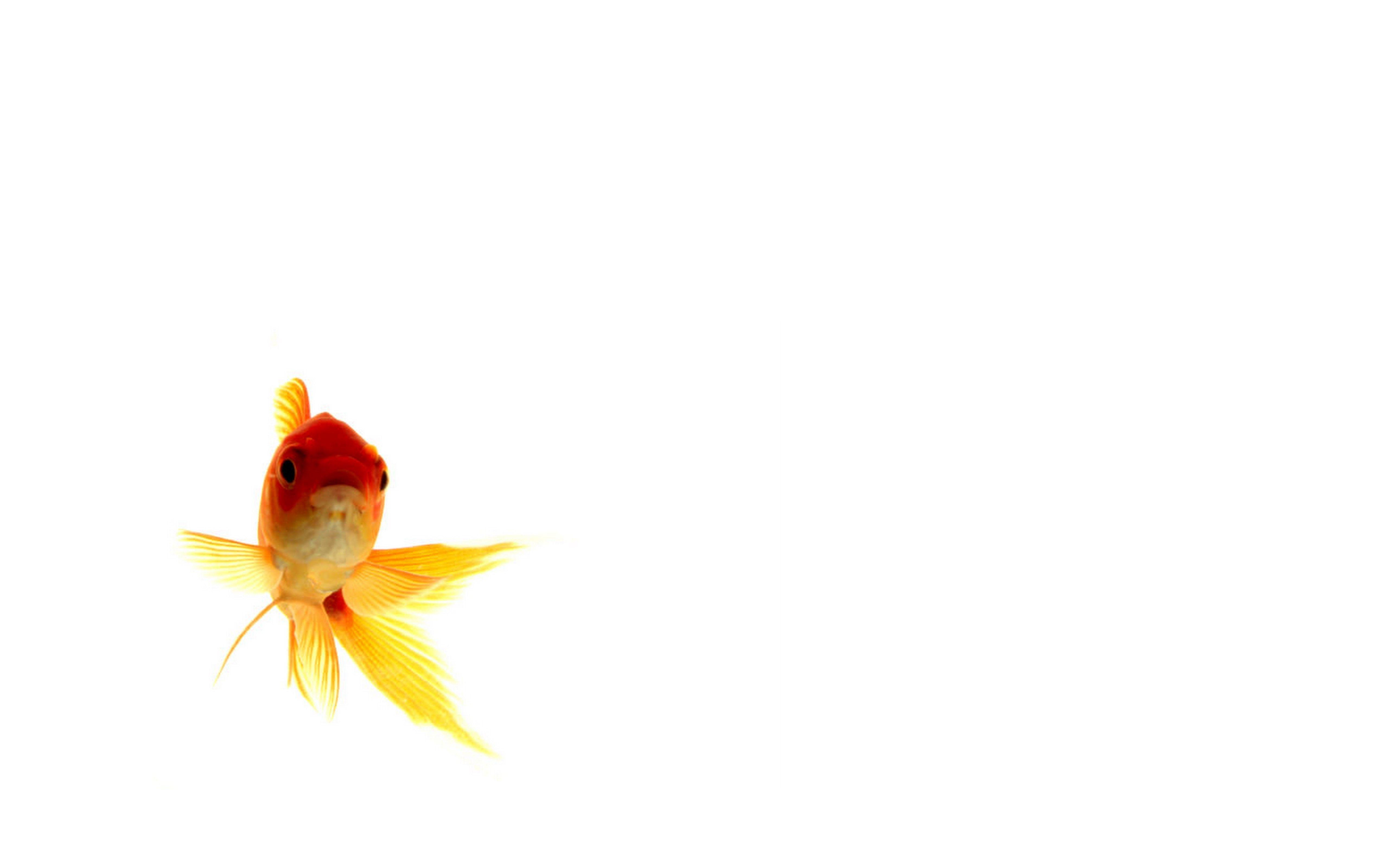Goldfish Wallpapers Hd