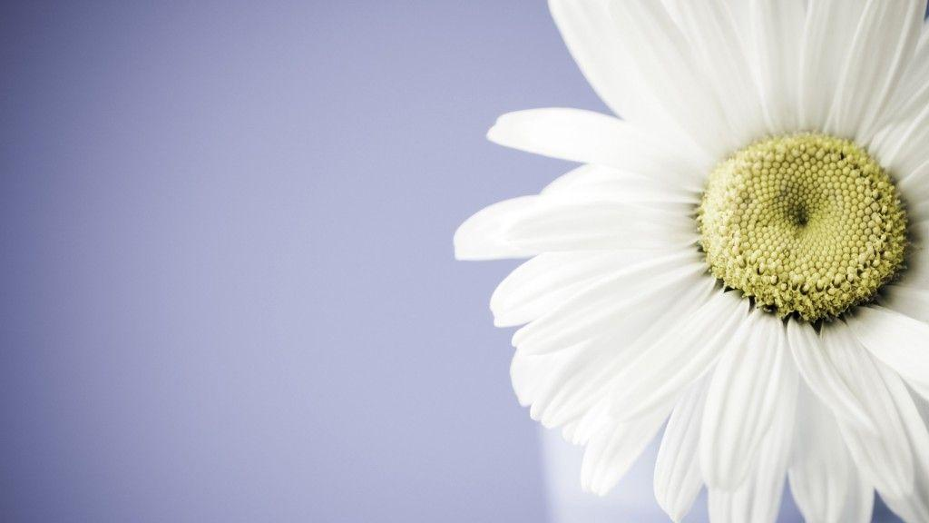 Daisy Wallpaper Backgrounds - Wallpaper Cave