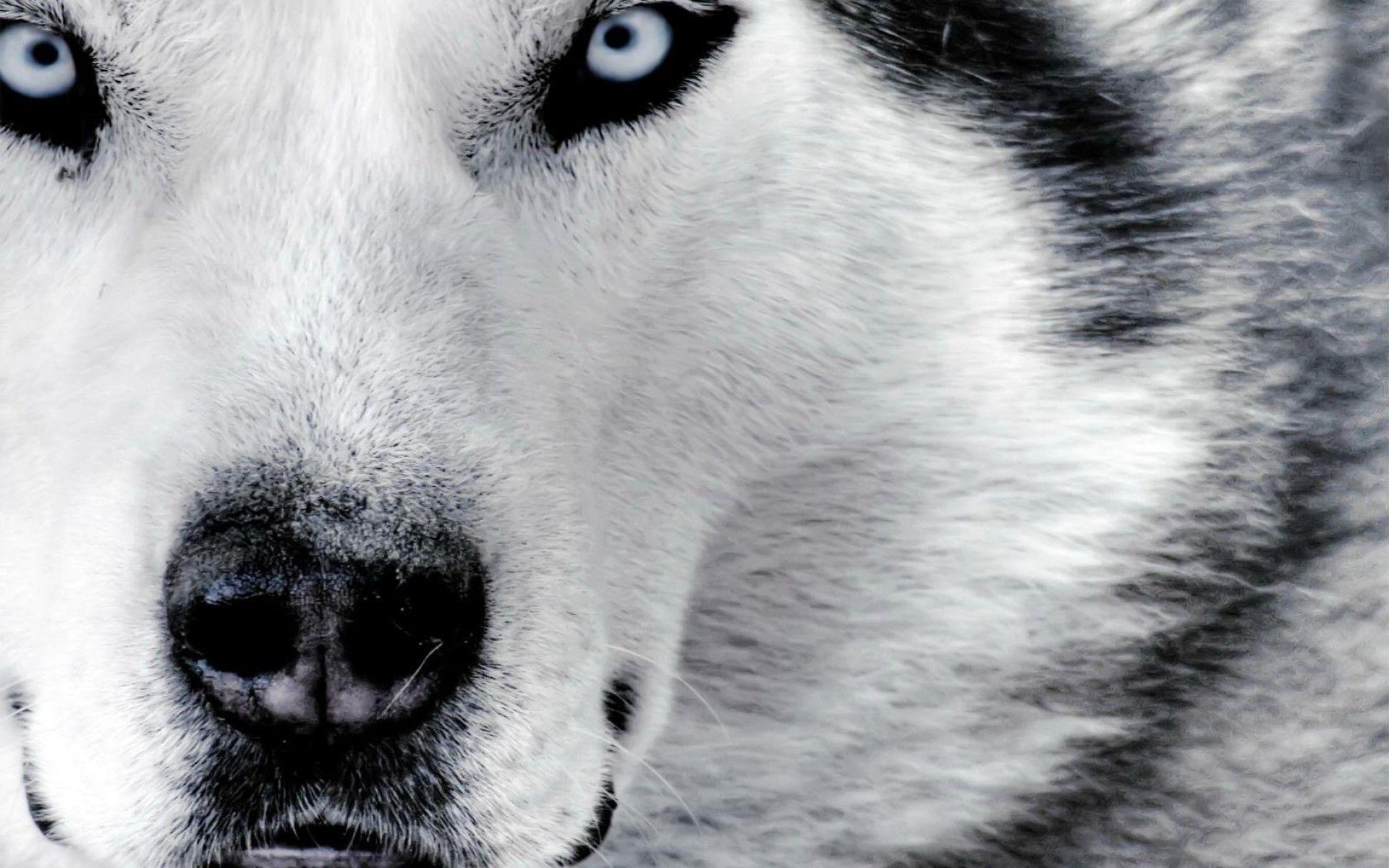 Wolf Wallpapers Black And White Image & Pictures