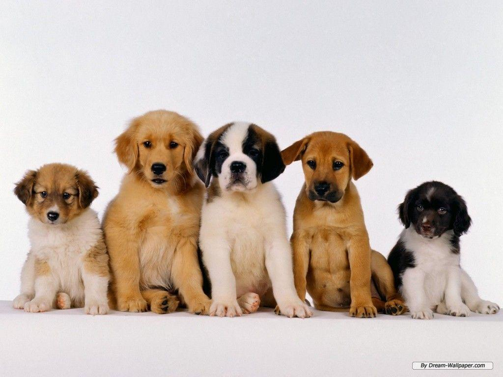 Puppy Wallpaper - Dogs Wallpaper (7013390) - Fanpop