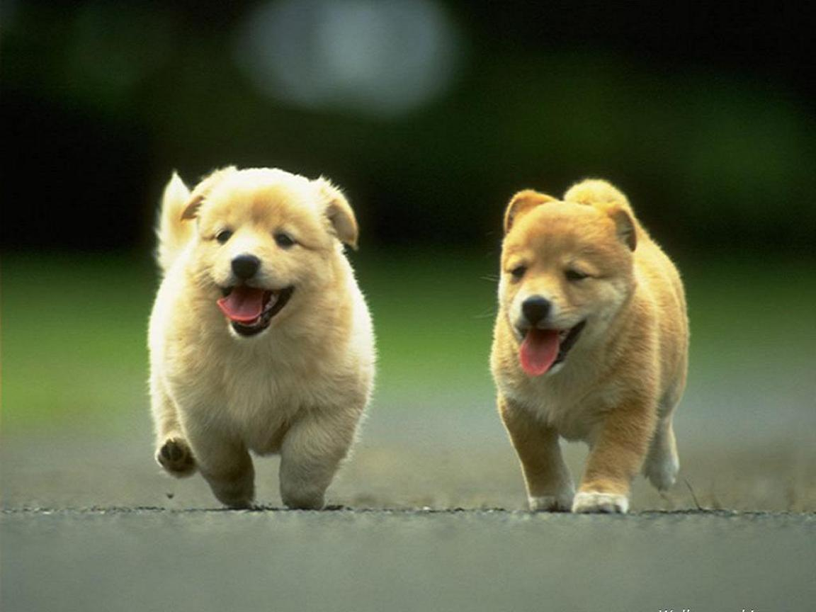 Welsh corgi puppies wallpaper - HD Tiger | hd wallpapers | mobile ...
