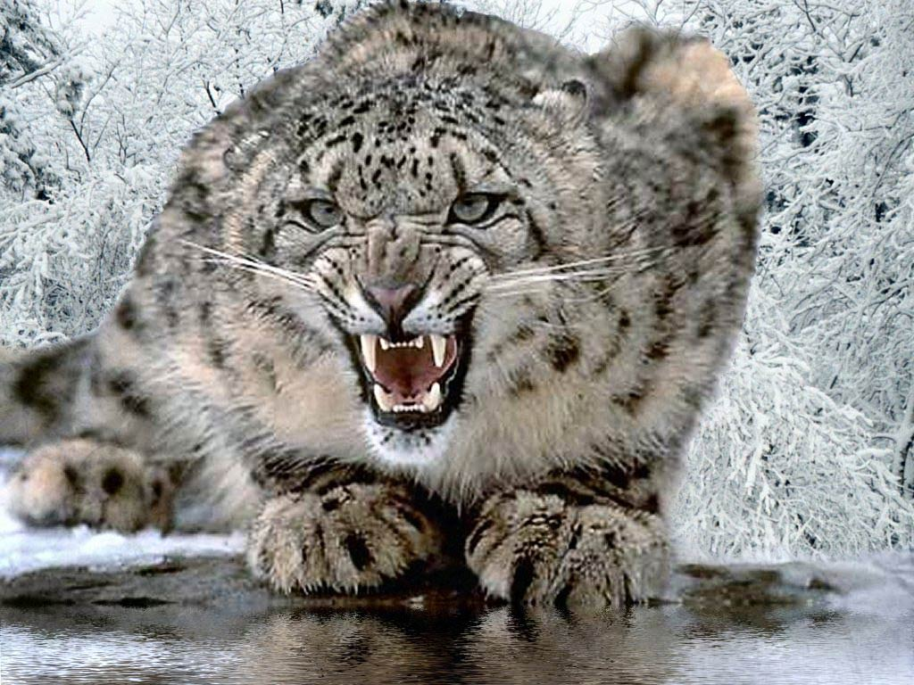 Snow Leopard Backgrounds Wallpaper Cave