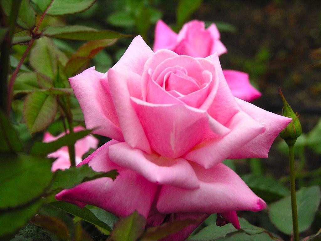 rose wallpaper | rose wallpaper - Part 16