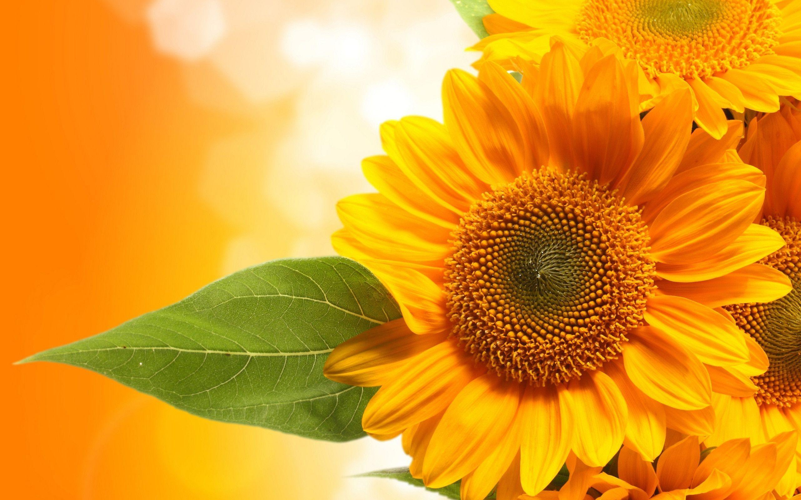 Sunflower Picture Sunflower Images and Wallpapers for Mac PC