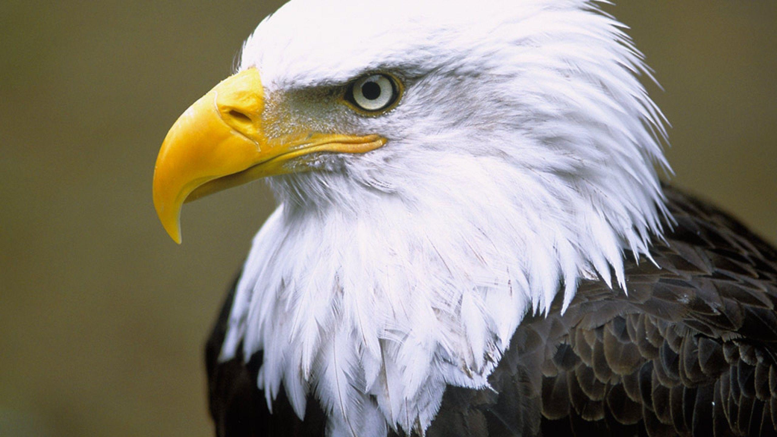 related bald eagle background - photo #24
