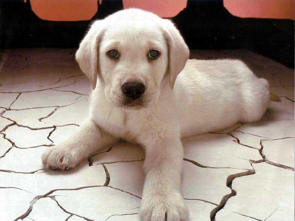 White Dog Cute Wallpapers Pics Wallpapers