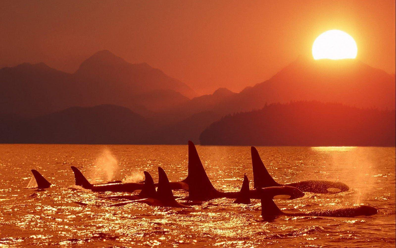 Killer Whales Wallpaper Images & Pictures - Becuo