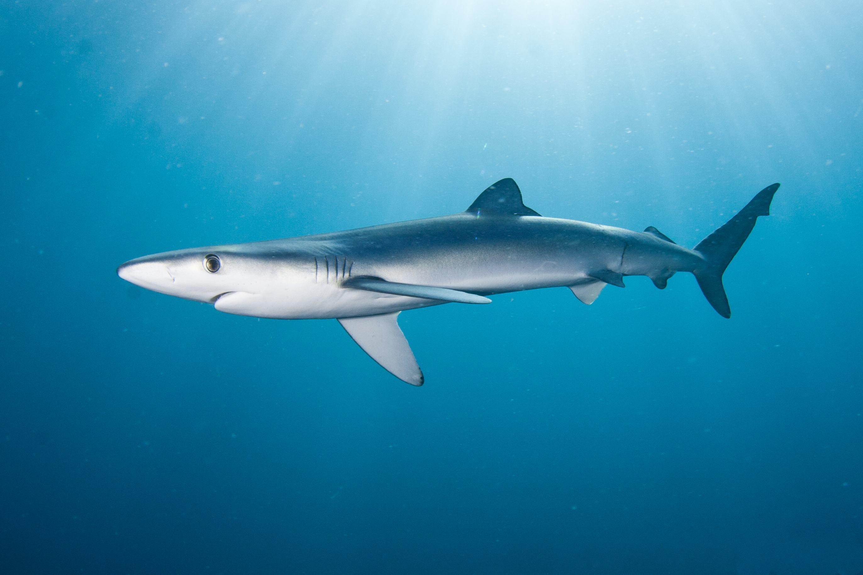 download shark wallpapers wallpaper - photo #41