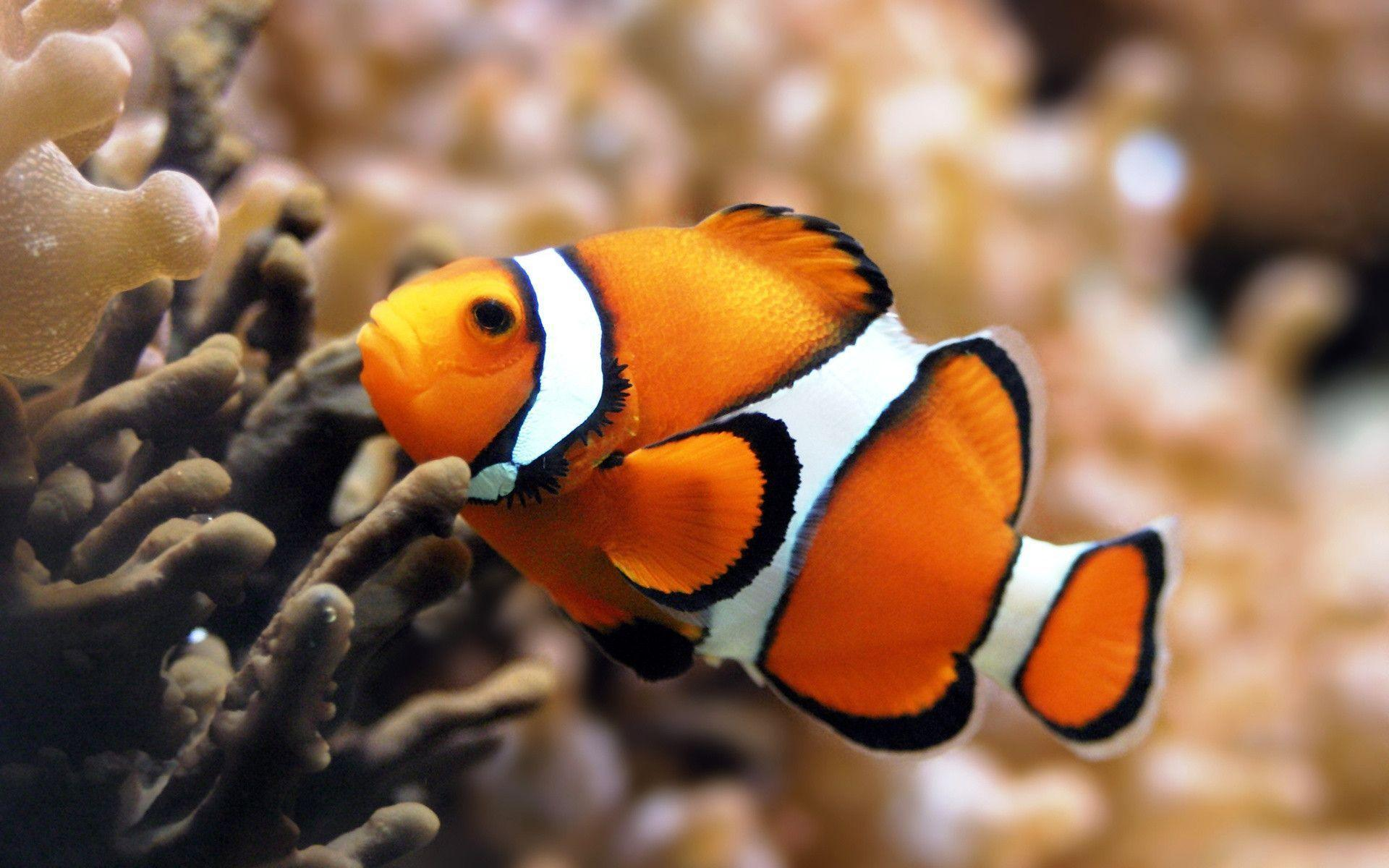 Clown Fish Widescreen Wallpapers Wallpapers