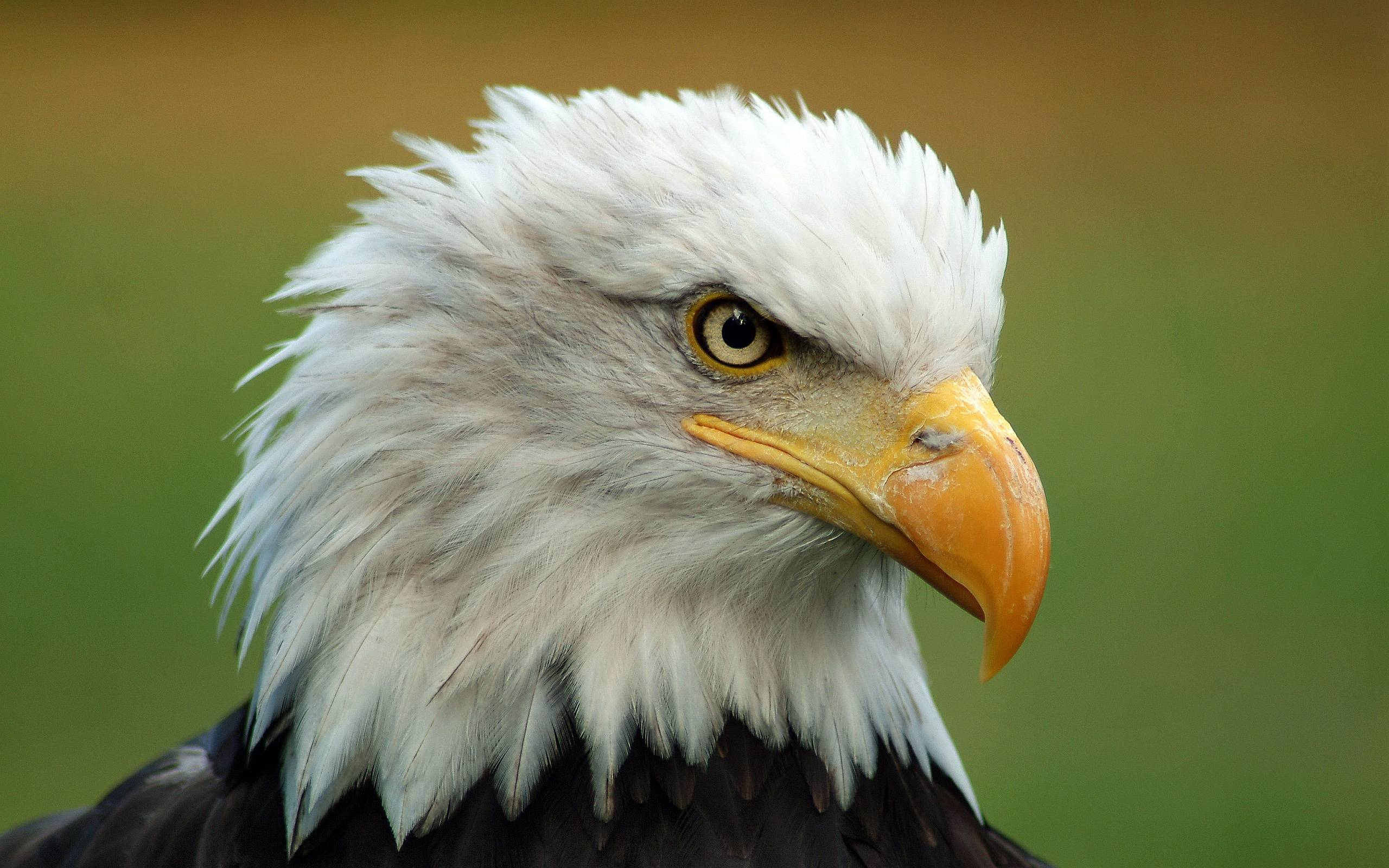 Majestic Bald Eagle Wallpapers