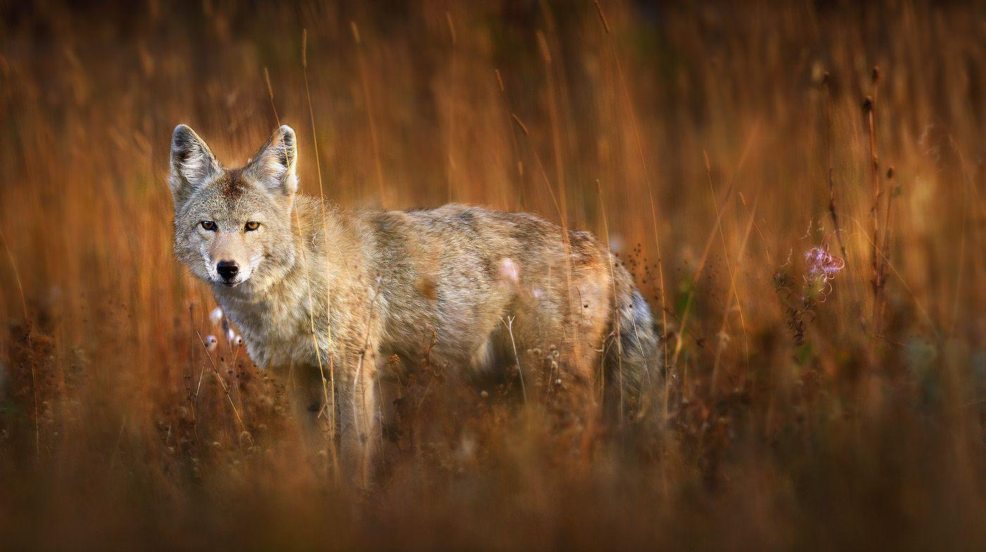 coyote wallpapers wallpaper cave