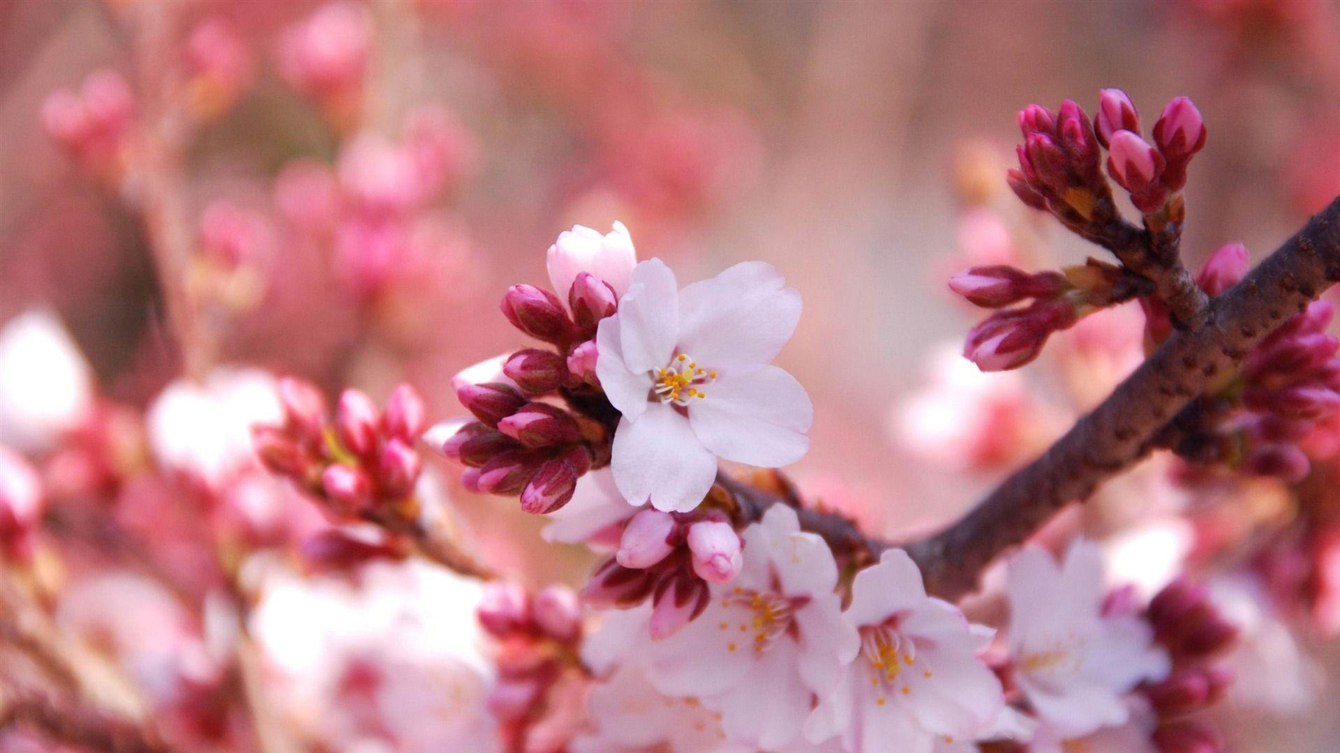 cherry blossem tree background wallpaper - photo #35