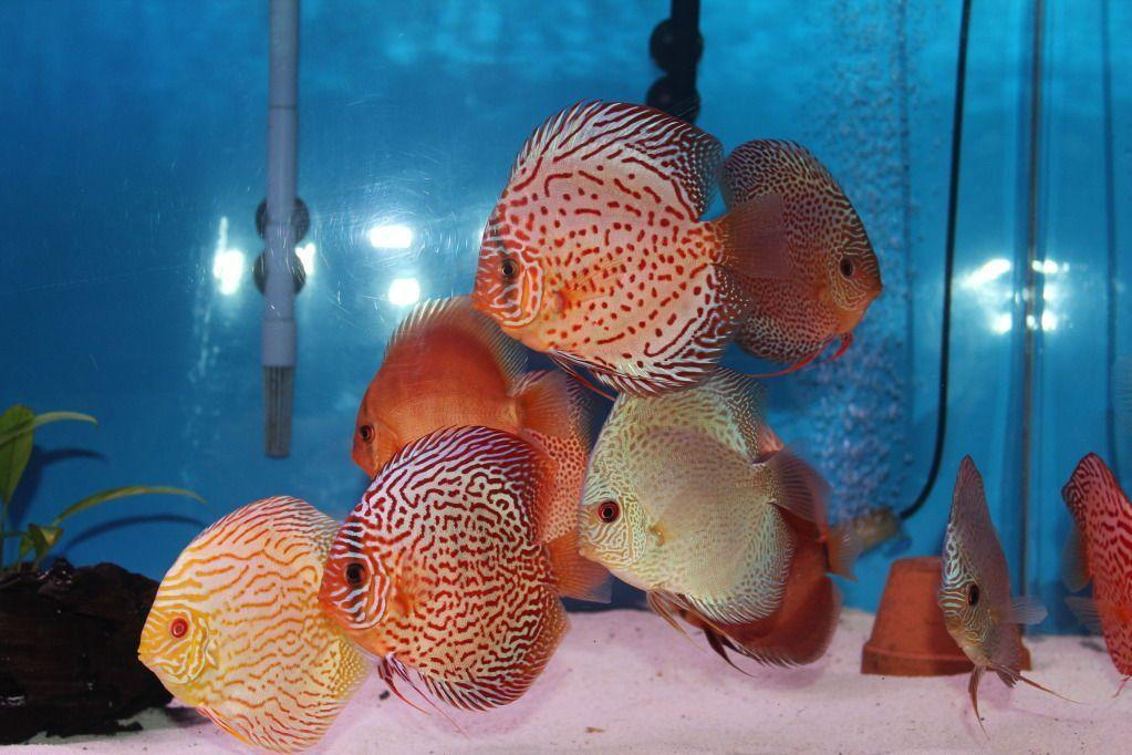 discus fish wallpaper wwwimgkidcom the image kid has it