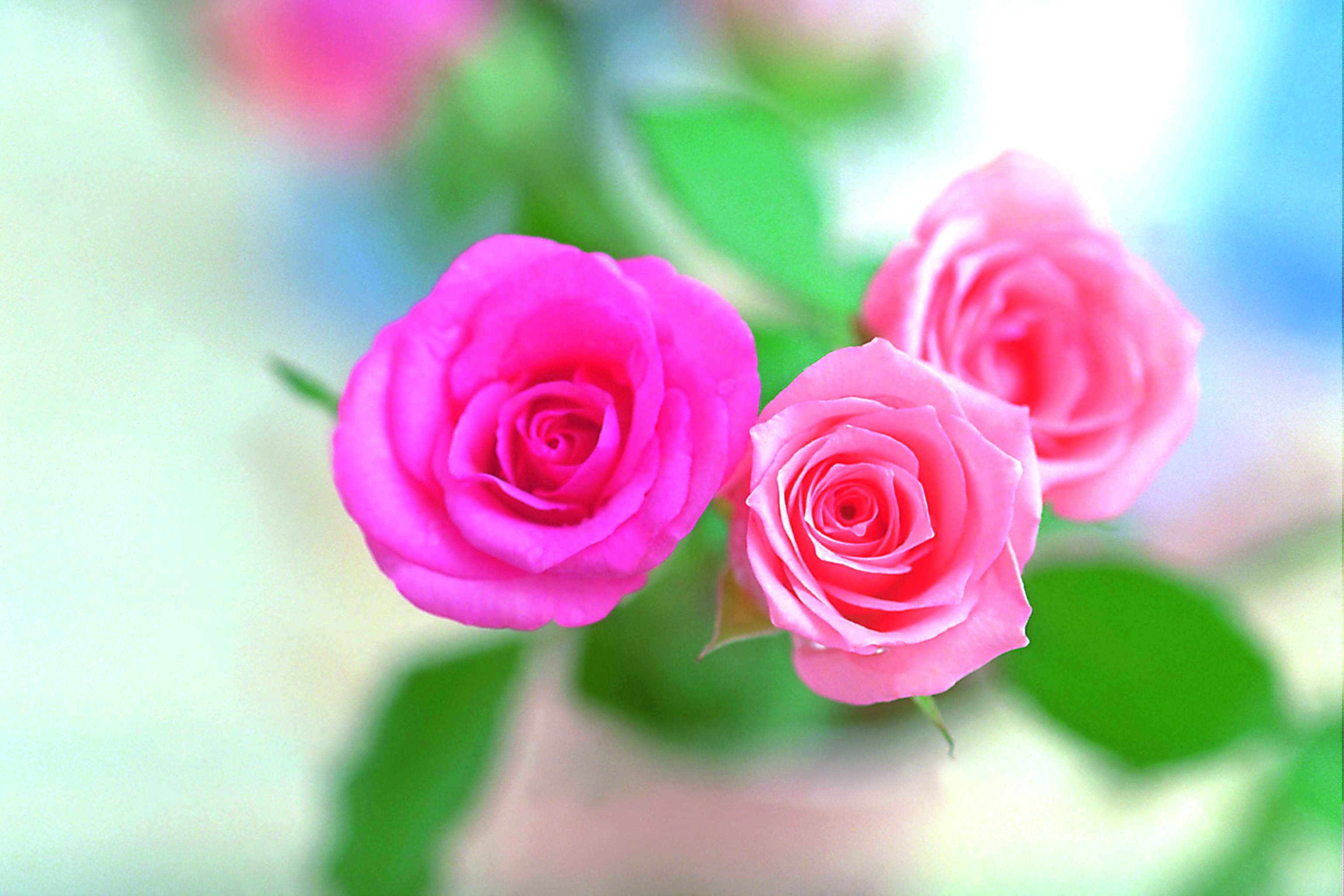Rose flower wall paper juvecenitdelacabrera pink rose flower wallpapers wallpaper cave mightylinksfo