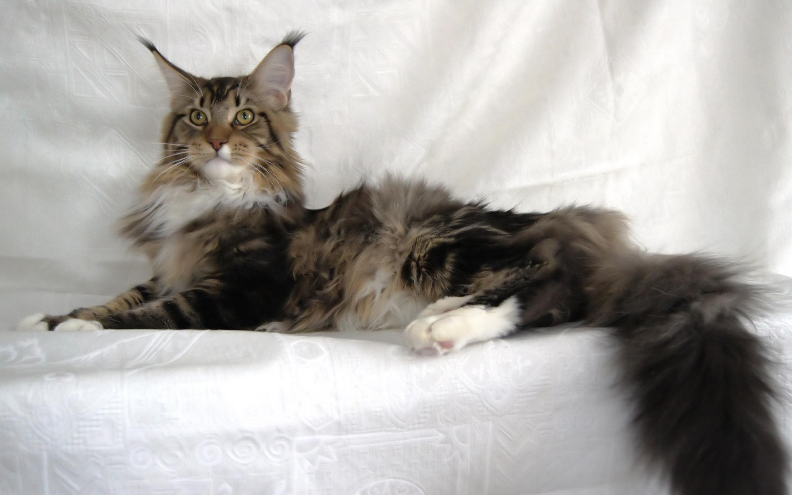 Maine Coon Wallpapers Wallpaper Cave