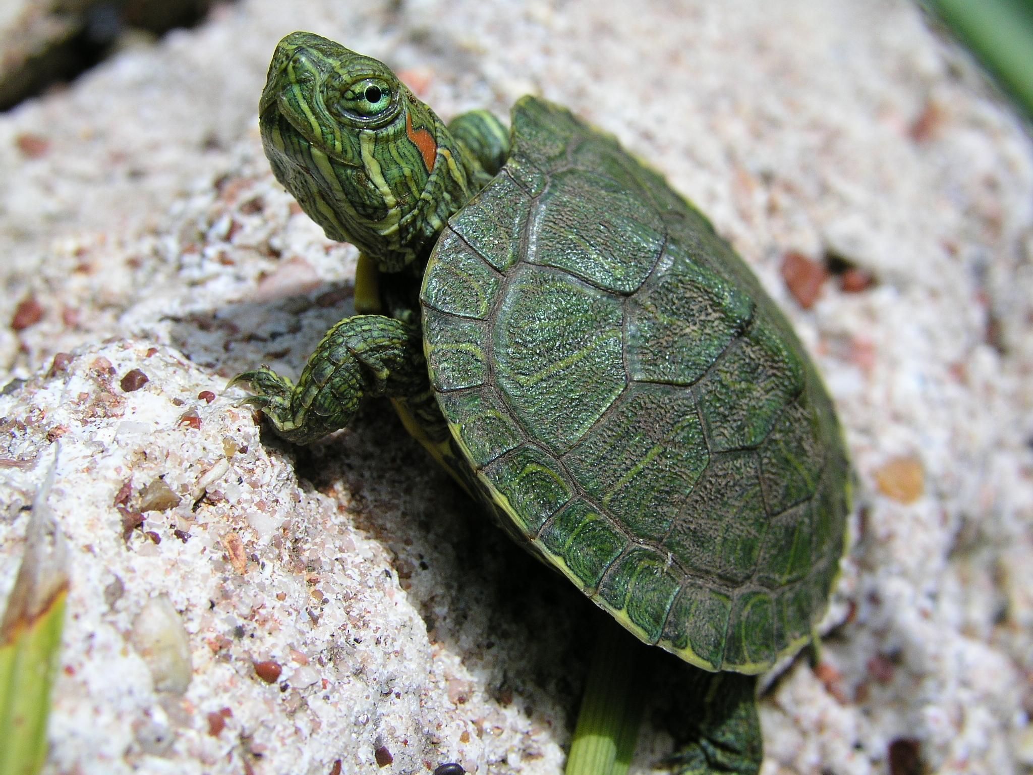 Wallpapers For > Baby Turtle Wallpapers Hd