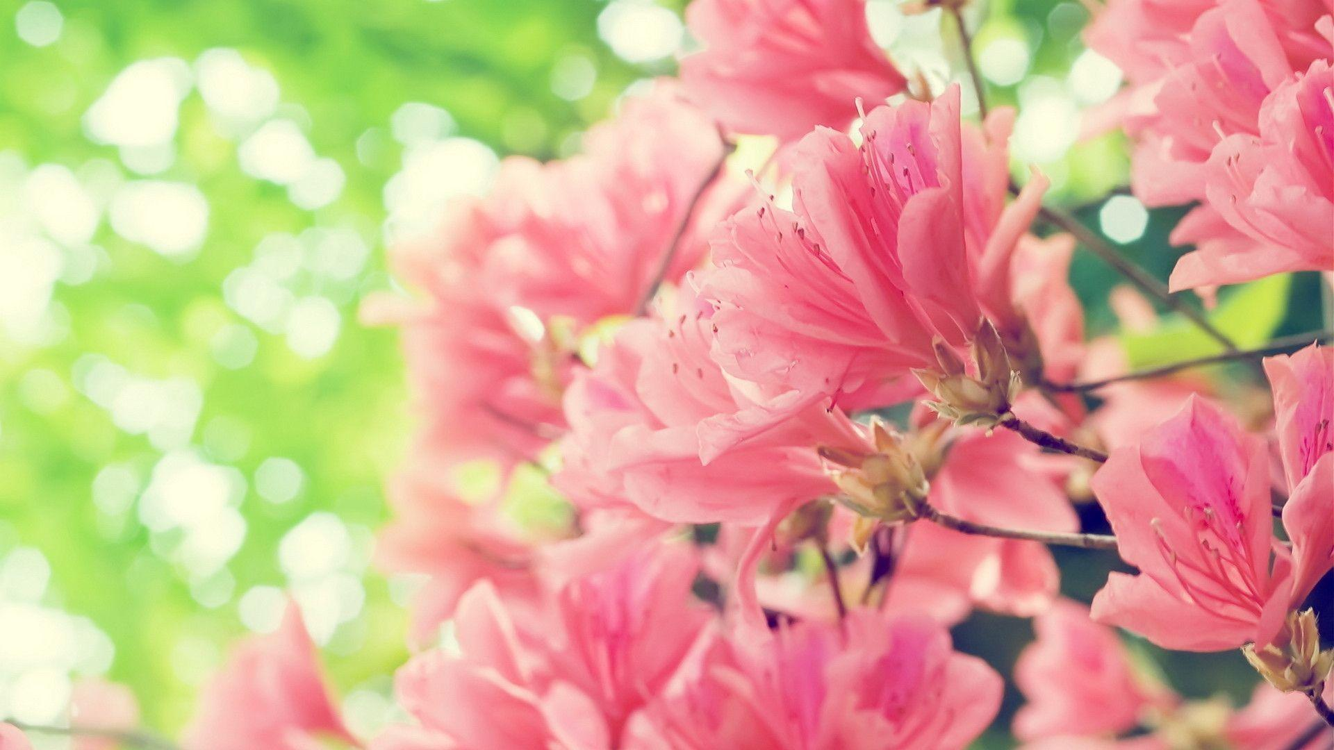 Pink Flowers Spring Hd Wallpapers For Dekstop Backgrounds 40857