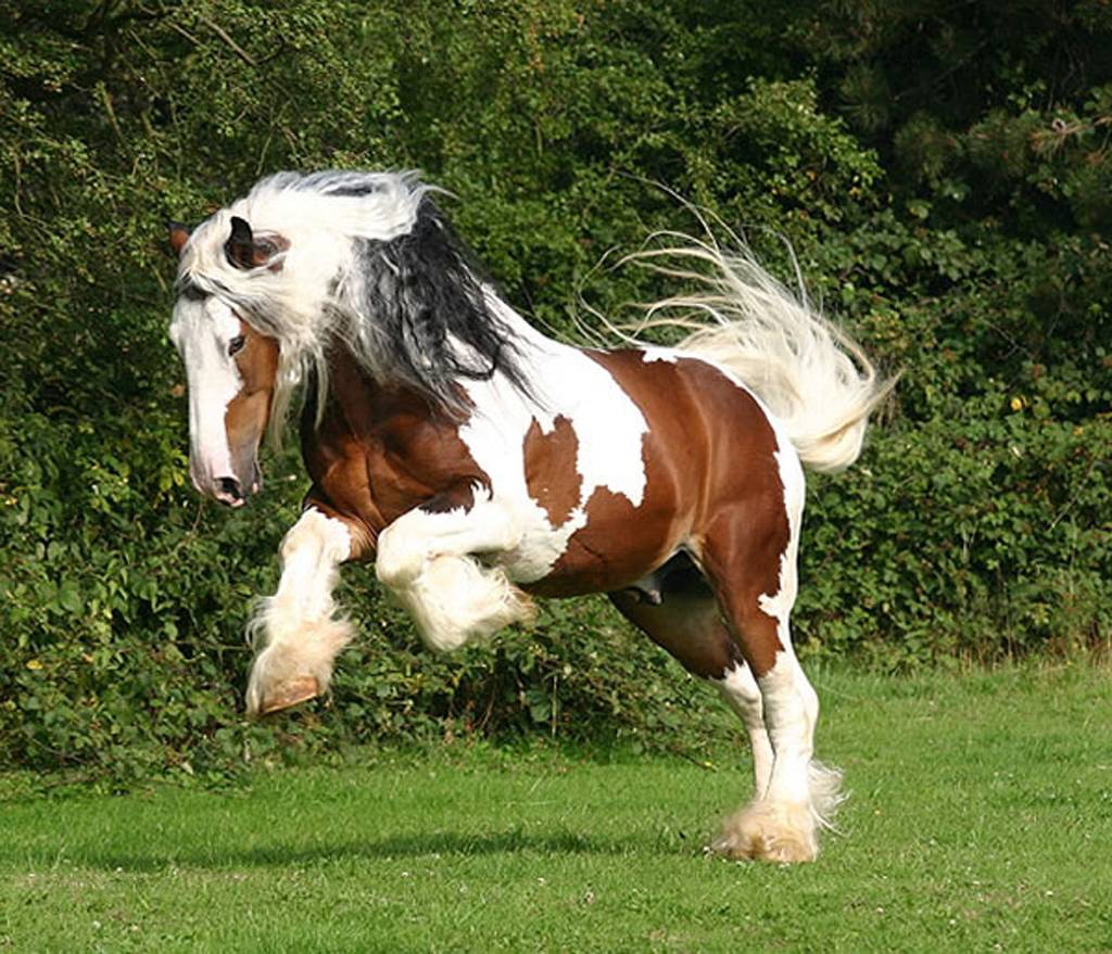 paint clydesdale - photo #35